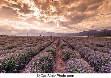 fiori, field., lavanda, bellezza