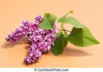 fiori, fondo, isolato, lilla, mazzo