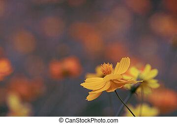 fiori, giardino, stile, vendemmia, cosmo