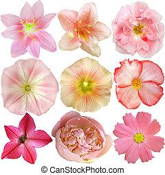 fiori, isolato, set, rosa, bianco