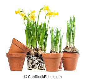 fiori primaverili, -, tromboni, e, piantare vasi