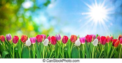 fiori primaverili, tulips