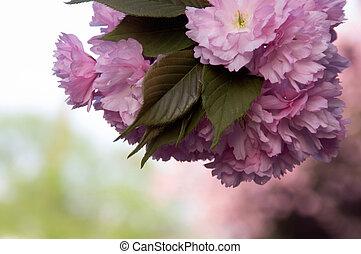 fiori, sakura, fondo