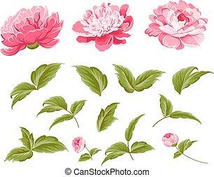 fiori, set, peonia, elements.