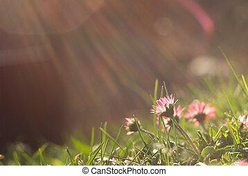 fiori, tramonto, margherita