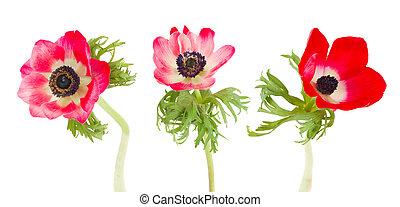 fiori, tre, anemone