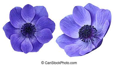 fiori viola, anemone