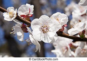 fioritura, albero, con, albicocche, su, cielo blu, fondo