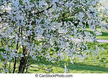 fioritura, albero