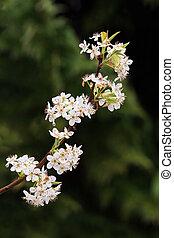 fioritura, bradford, pera, membro