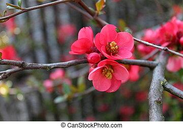 fioritura, ramoscello, sakura