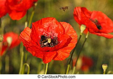 fioritura, rosso, papaveri, bombo