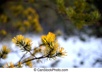 Fir branch against the background of a winter forest