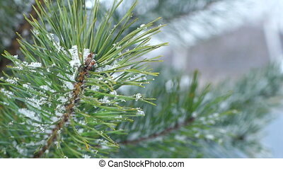 Fir branch covered with snow