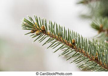 Fir branch in hoarfrost