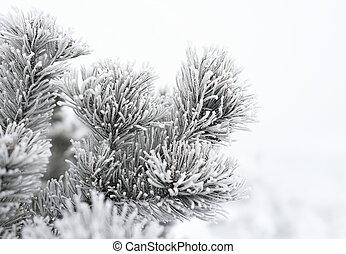 Fir branch on snow.
