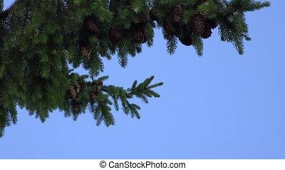 fir branch with cones swings in wind on blue sky background. 4K