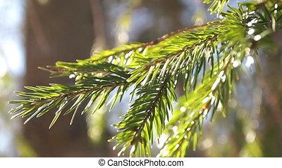 fir branches, close-up