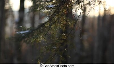 Fir branches closeup