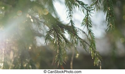 Fir branches on beautiful sun background in winter with lense flare effects