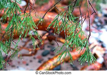 rain drops on fir needles