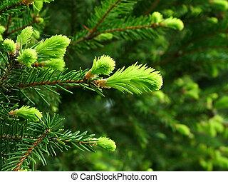 Closeup of fresh fir buds