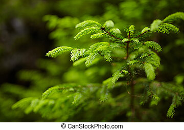 Closeup of fir branches with young buds, blurred background
