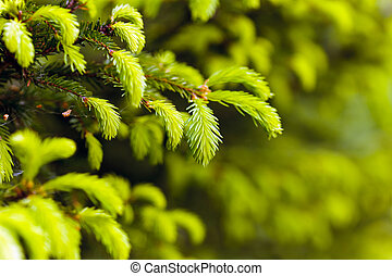 Closeup of fir branches with young buds