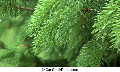 Fir closeup.