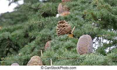Fir cones from a fir tree in London
