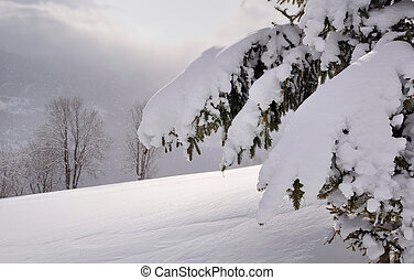fir covered by snow