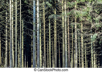 fir forest in the Taunus area at mountain Feldberg in Germany