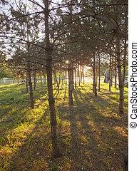 Fir forest lit by the sun