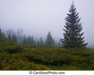Fir forest on the Carpathian mountain hills in a cold foggy spring morning. Serene scenery landscape.