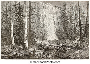 Fir forest - Russian fir forest old illustration. Created by...