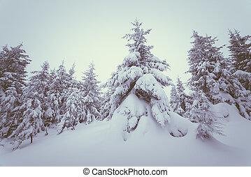 Fir forest under snow