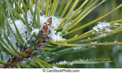 Fir needles under snowflakes, macro.