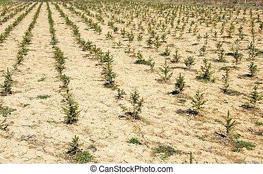 Fir planting