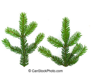 fir - little fir branches against the white background