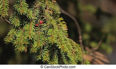 Fir tree at sunny day in forest
