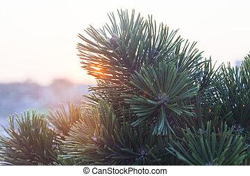 Fir-tree at sunset