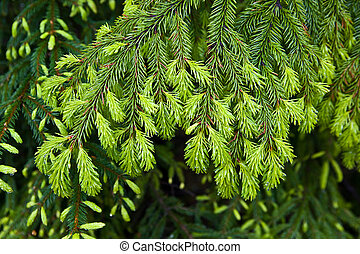 Fir-tree background