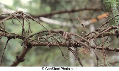 Fir tree branch, branch of a coniferous tree in the forest, close-up, macro shot