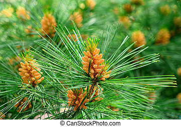 Fir tree branch close-up on green background