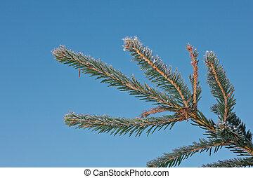 Fir-tree branch