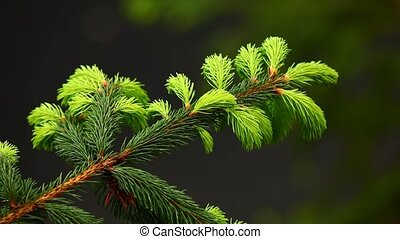 Fir tree branch in spring