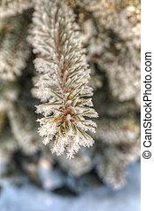 fir tree branch in winter