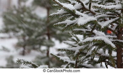 Branch of fir-tree with snow during winter