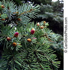 Fir tree branch with a new cones. Young red fir cones on the branch.