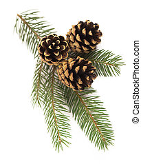 fir-tree branch with cones